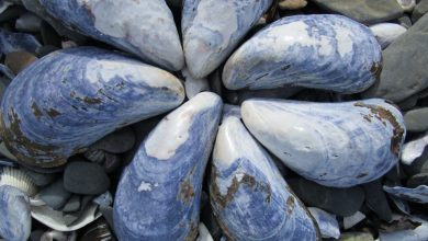 Photo of FRESH ART: 4 Do-It-Yourself Things You Can Make with Blue Mussel Shells