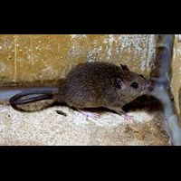 Photo of TIPS FOR IDENTIFYING A RODENT INFESTATION