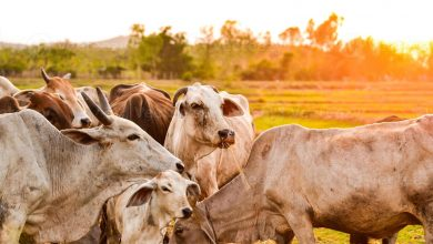 Photo of What Is Livestock Farming?