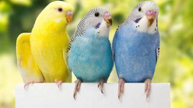 Photo of Budgies Bird Bet Pet Indeed