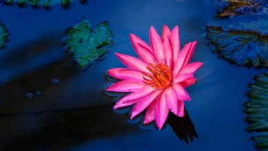 Photo of Floral water, a forgotten beauty elixir with many benefits
